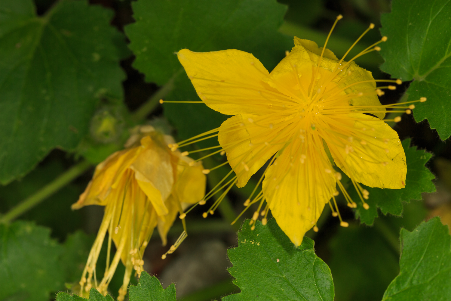 Yellow Rocknettle - Big Bend NP