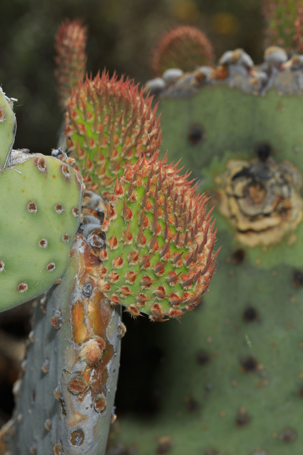 Engelman's Prickly Pear Cactus - Big Bend NP / Cattail Falls Trail