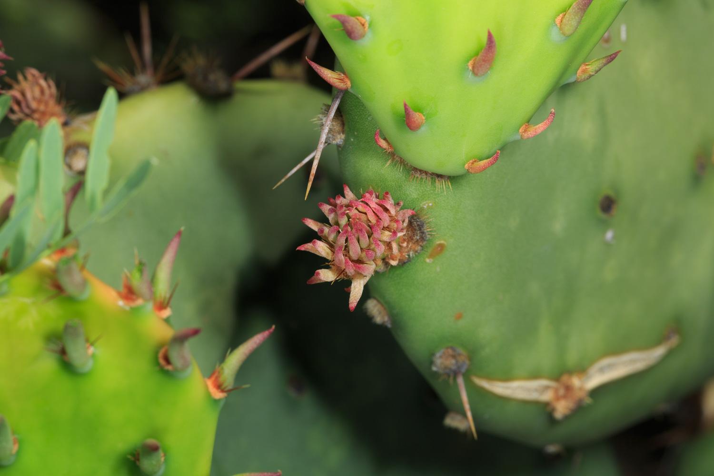 Engelman's Prickly Pear Cactus - Big Bend NP / Cattail Falls Trail