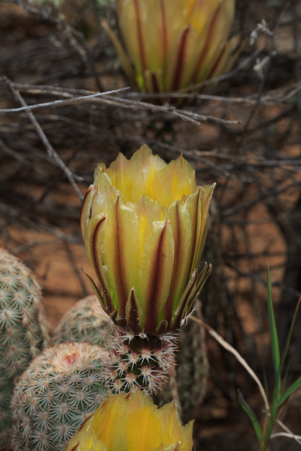 Spiny Hedgehog Cactus - Big Bend NP /Cattail Falls Trail
