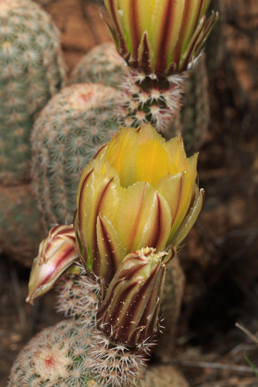 Spiny Hedgehog Cactus - Big Bend NP /Cattail Falls Trail
