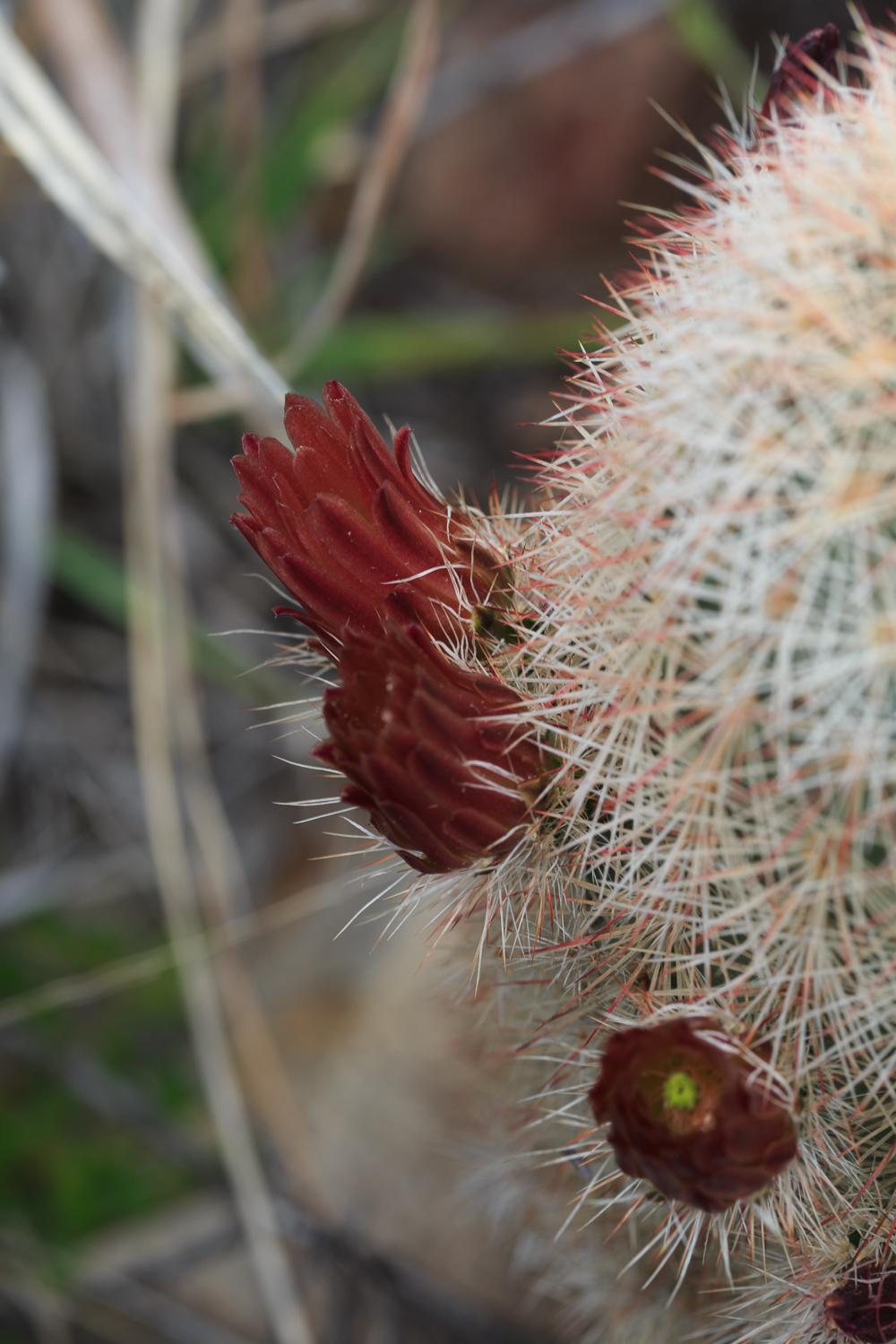 Rusty Hedgehog Cactus - Big Bend NP / Cattail Falls Trail