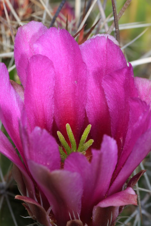 Strawberry Hedgehog Cactus - Glen Springs