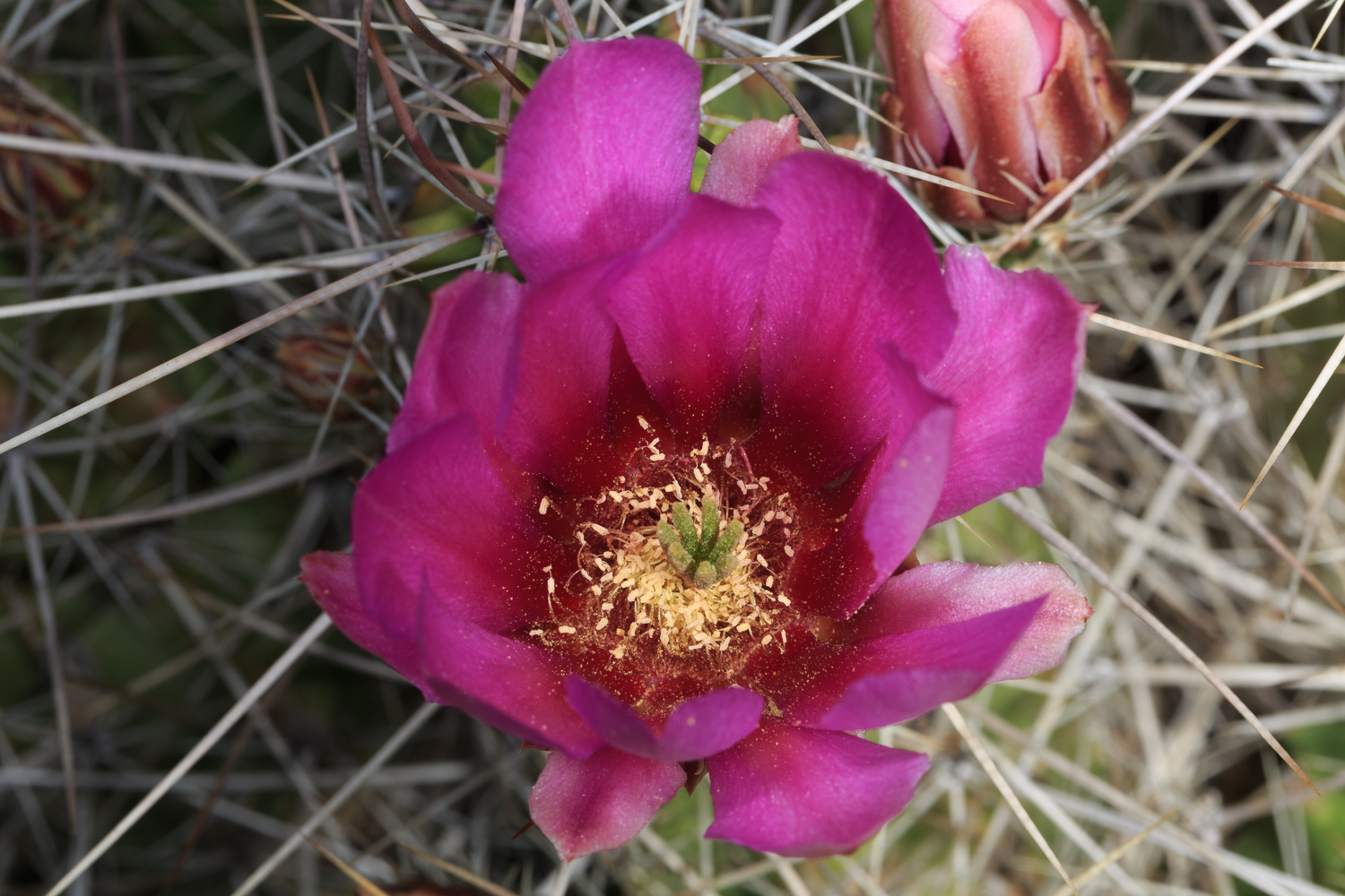 Strawberry Hedgehog Cactus - Glen Springs