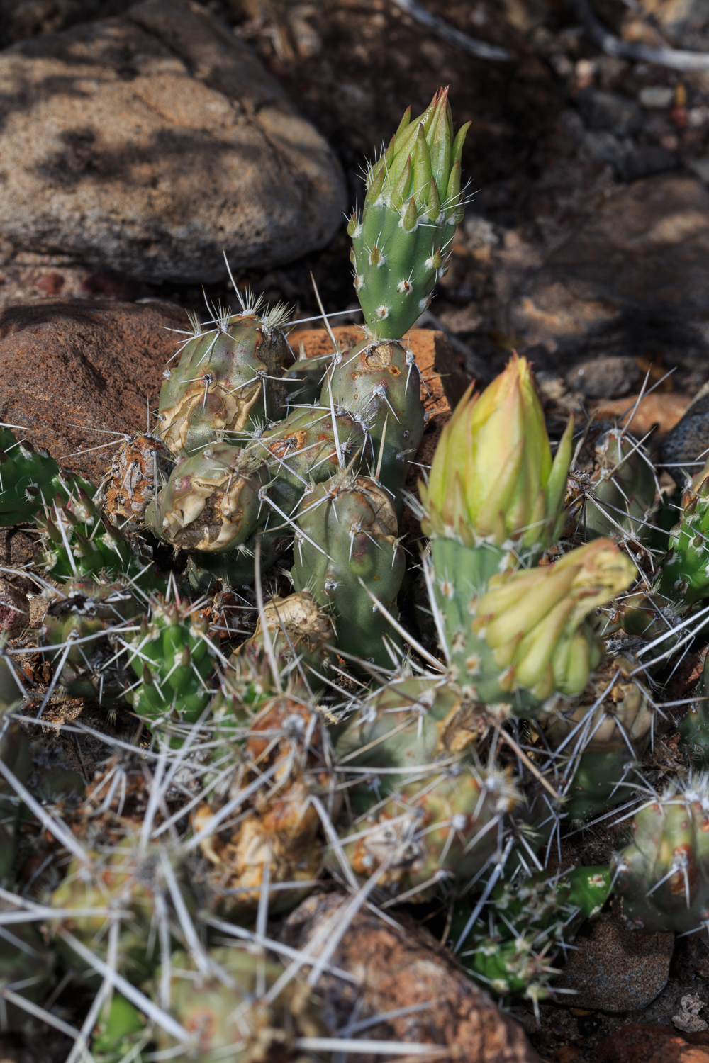 Brown-Spined Pricly Pear - Big Bend NP / Castelon