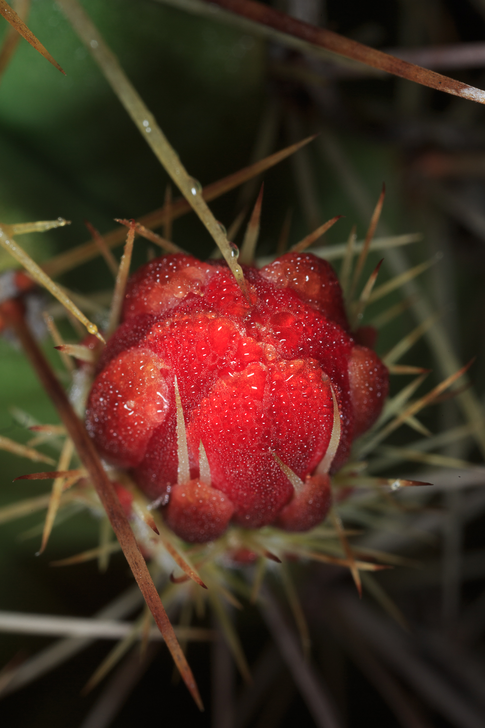 Claret Cup - Big Bend NP / Lost Mine Trail
