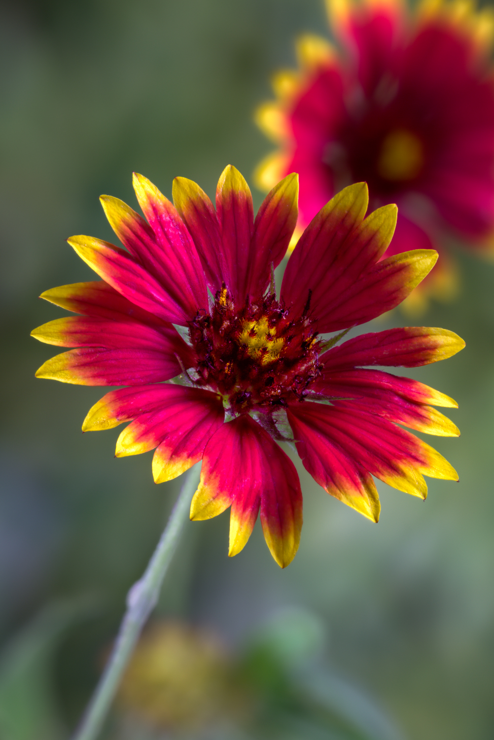 Indian Blanket - WMG Estates