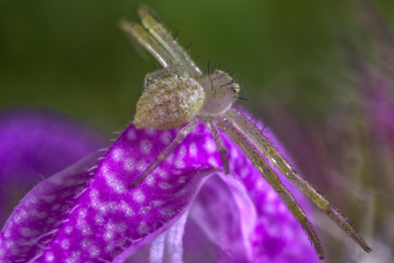Crab Spider on Purple Horsemint