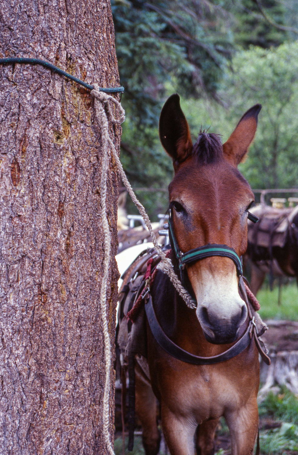 Gila Wilderness - Mule at the Ready