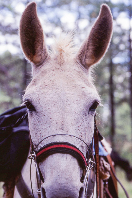 Gila Wilderness - Mule Stare