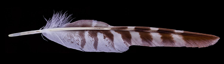 Hawk Feather Macropanorama