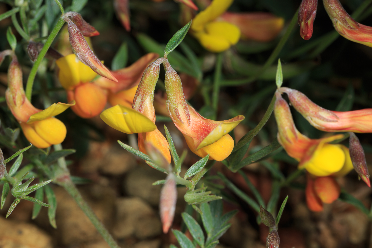 New Mexico Bird's Foot Trefoil - Big Bend NP / Lost Mine Trail (2015)