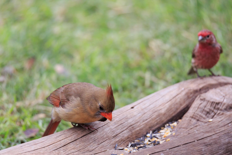 Northern Cardinal - Pedernales Falls SP