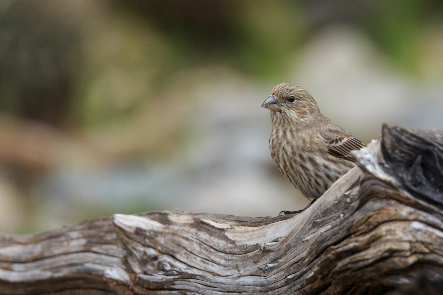 House Finch - Pedernales Falls SP