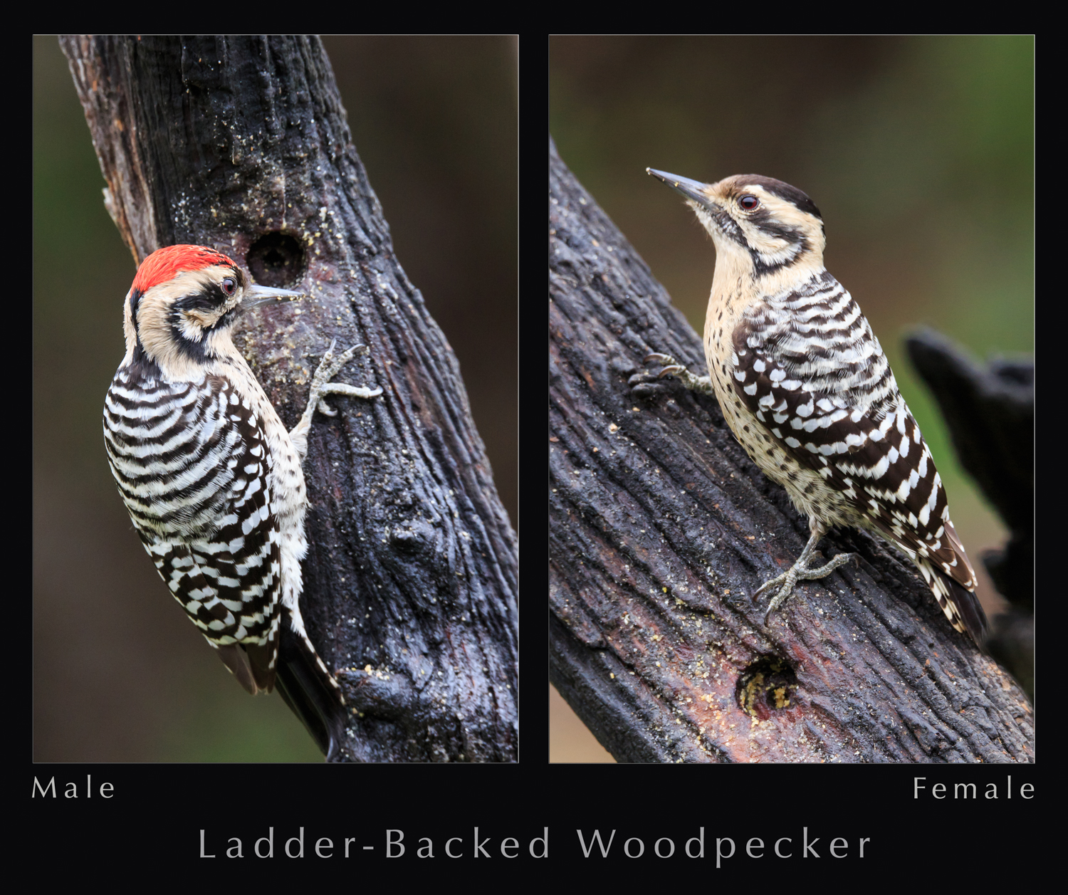 Ladder-backed Woodpecker - Pedernales Falls SP
