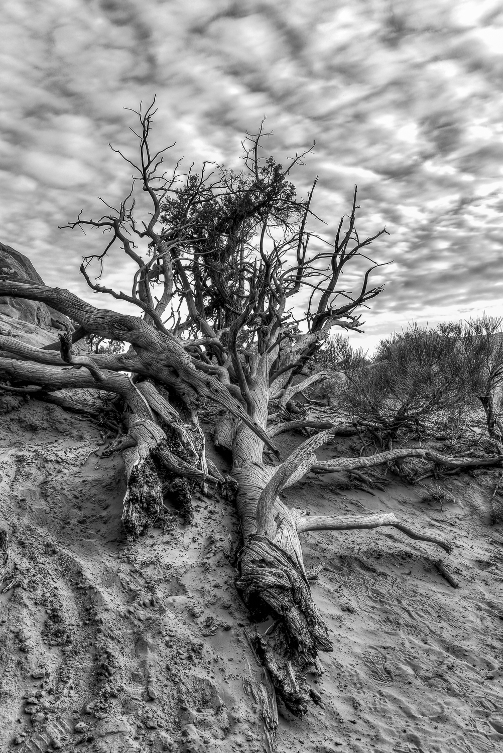 Arches National Park - Dead Tree
