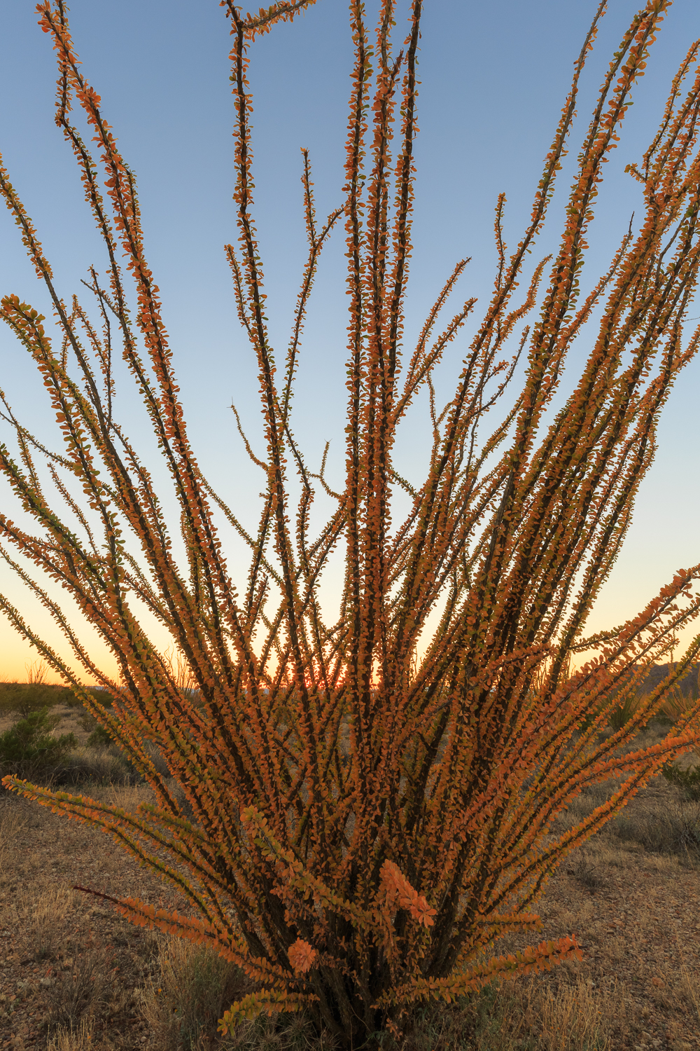 BBNP - Ocotillo Sunset