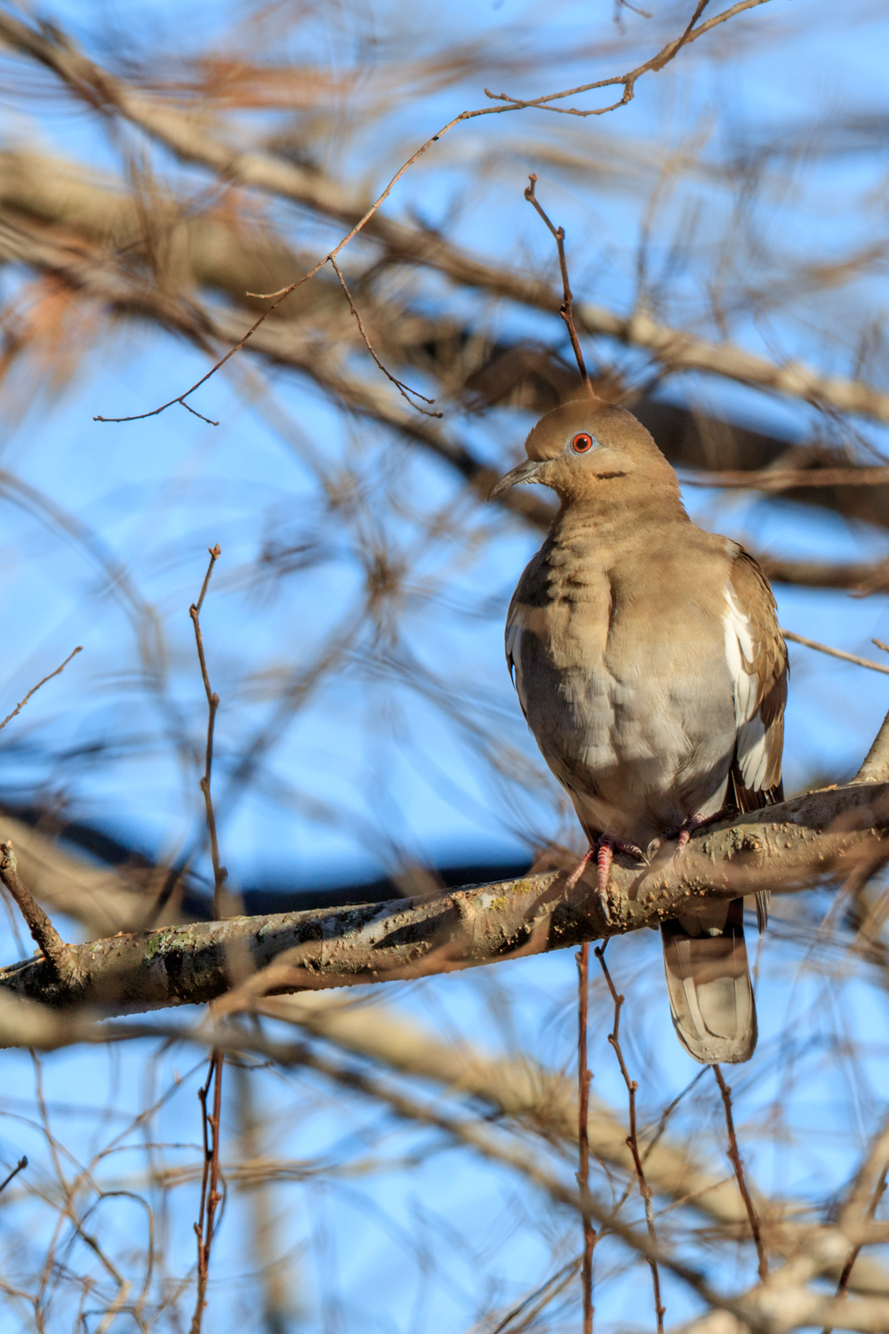 White-winged Dove - WMG