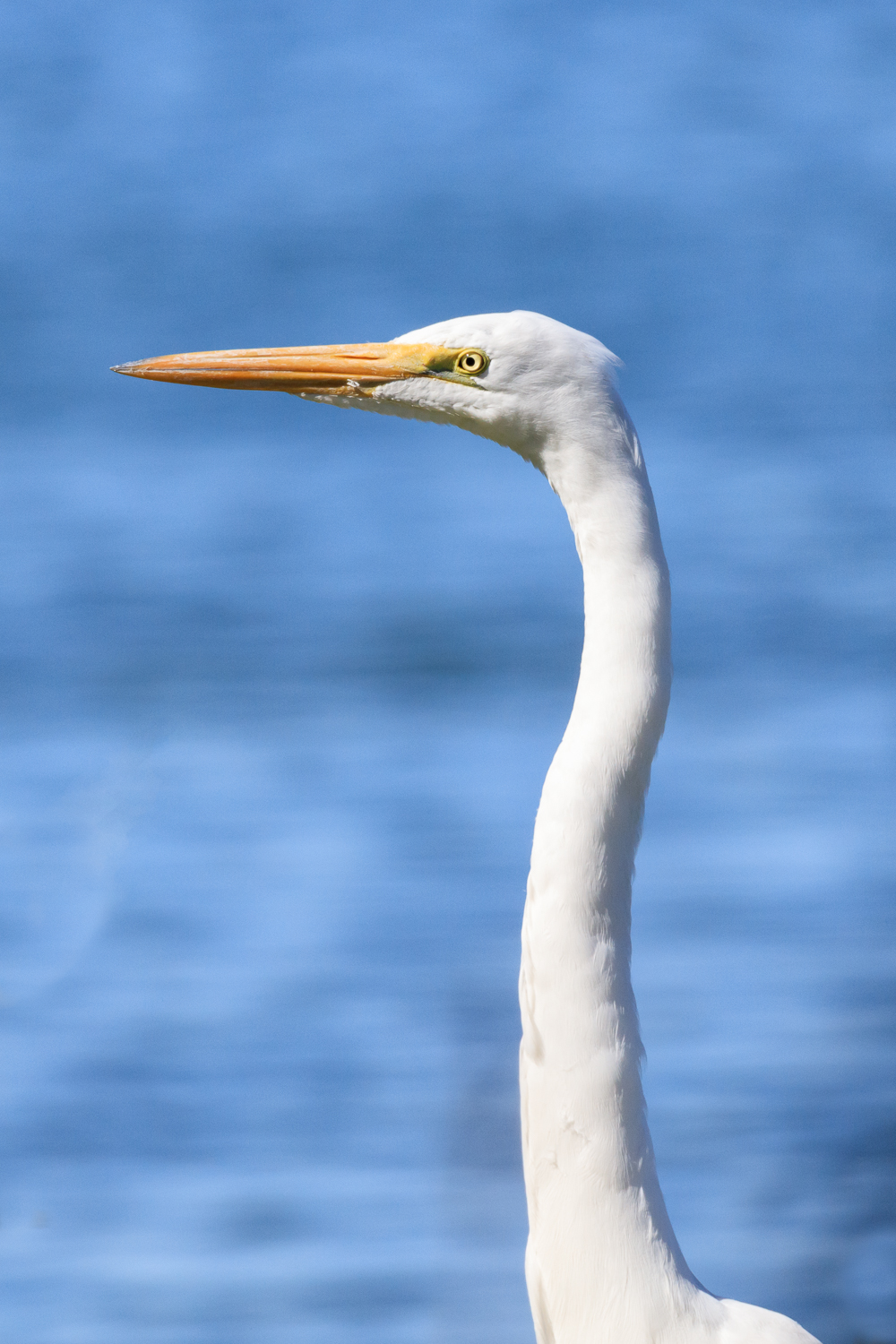 Great Egret - Town Lake