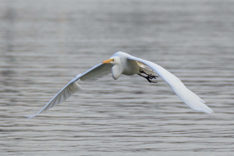 Great Egret - Town Lake