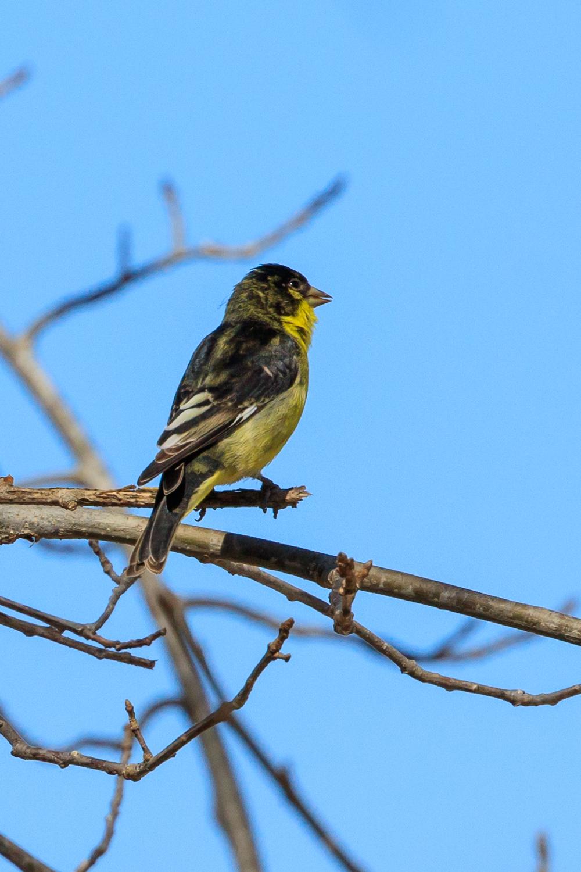Lesser Goldfinch - WMG