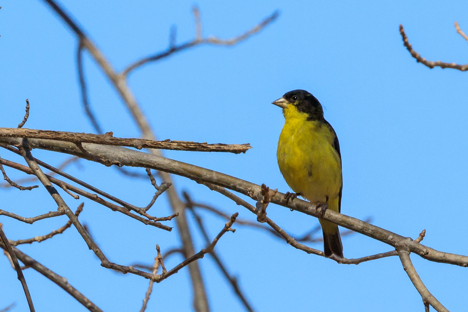 Lesser Goldfinch - WMG