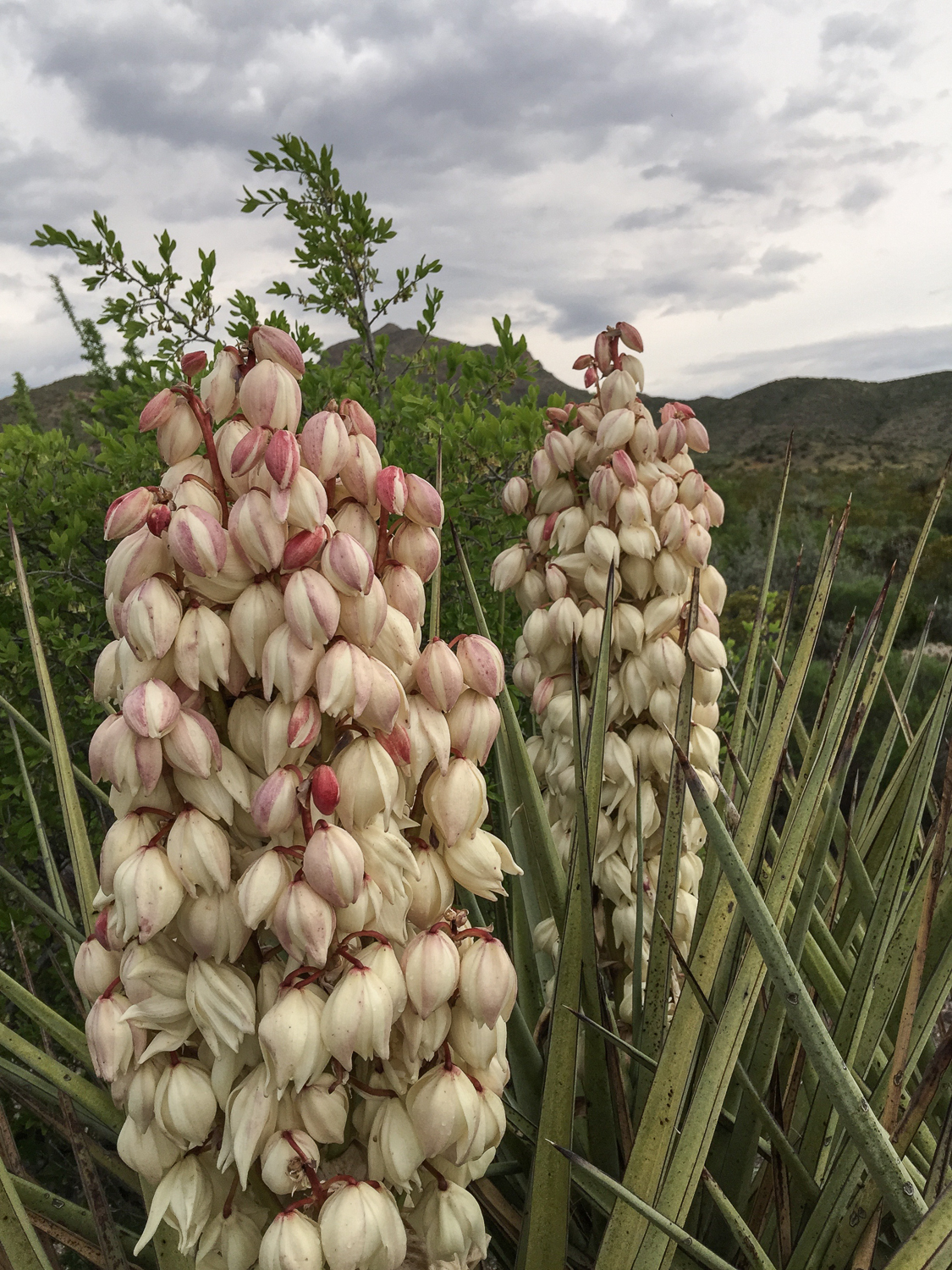 Thompsons Yucca - Big Bend National Park