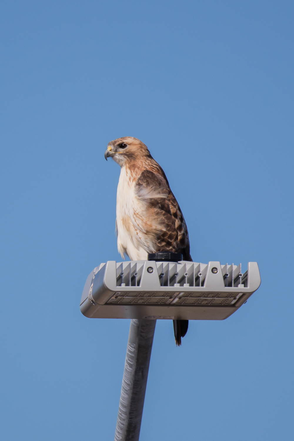 Red-tailed Hawk - MoPac Highway