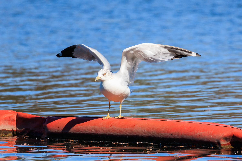 Ring-billed Gull - Town Lake