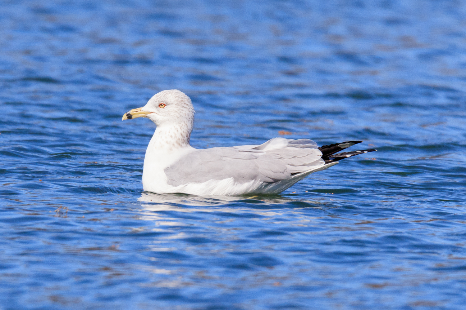 Ring-billed Gull - Town Lake