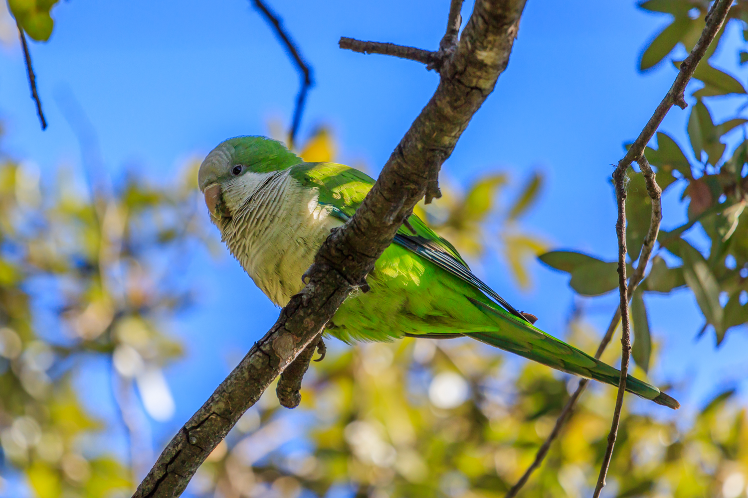 Monk Parakeet - Town Lake