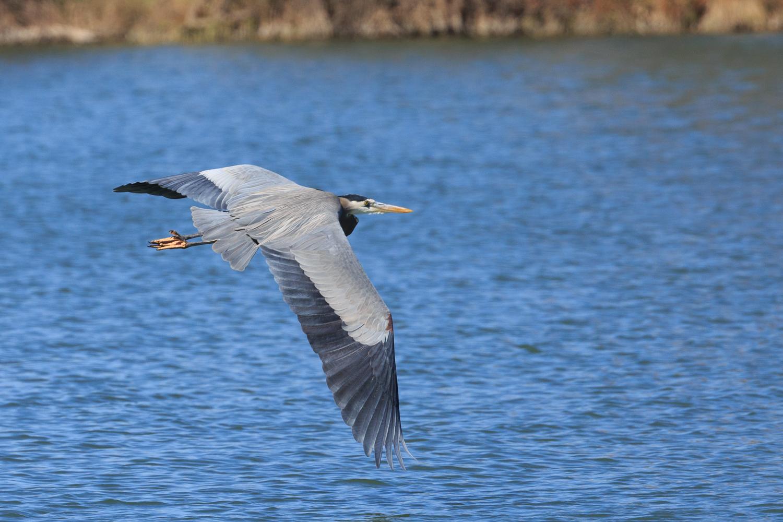 Great Blue Heron - Town Lake