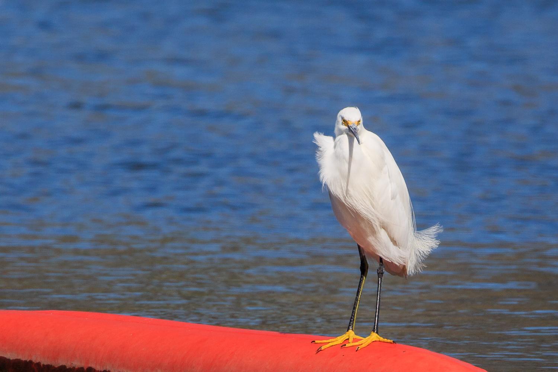 Snowy Egret - Town Lake