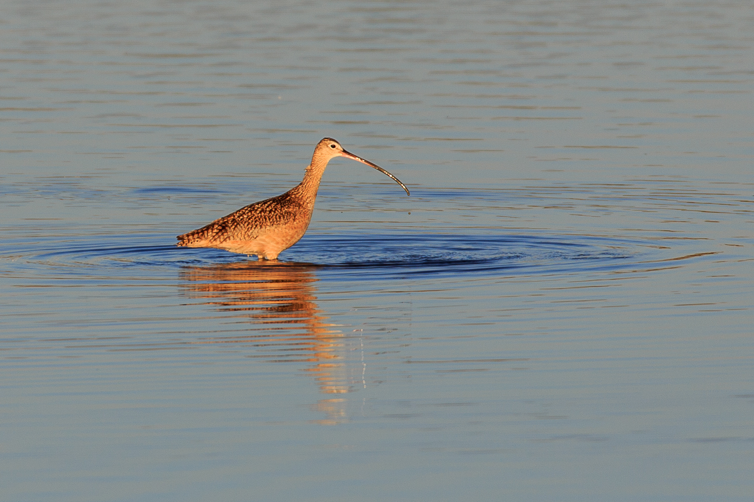 Long-billed Curlew - ANWR