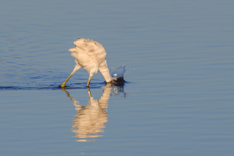 Great Egret - Aransas Wildlife Preserve