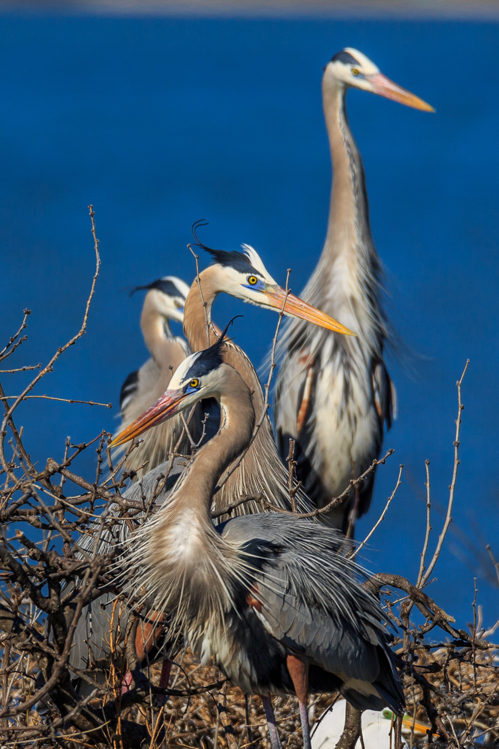 Great Blue Herons - ANWR