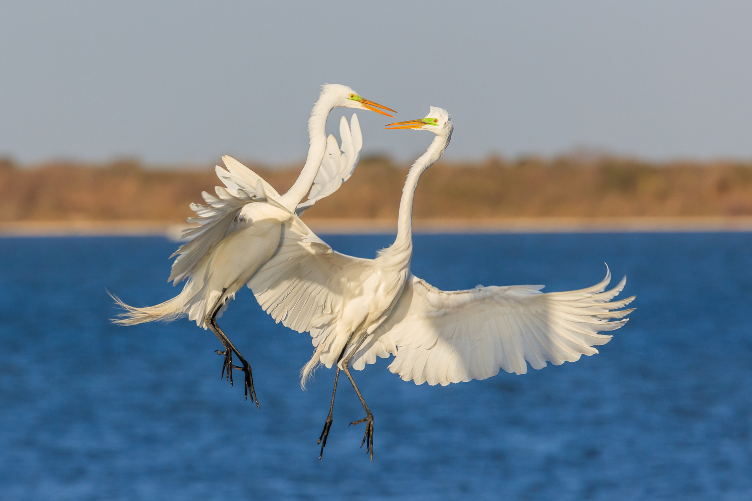 Great Egret Fight - ANWR
