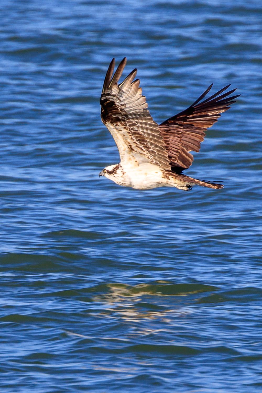 Osprey - ANWR
