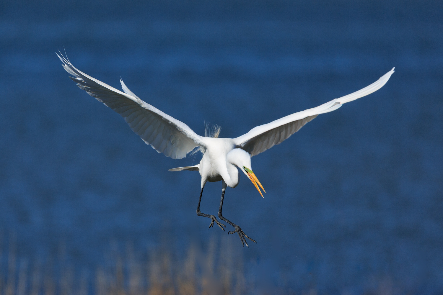 Great Egret - ANWR