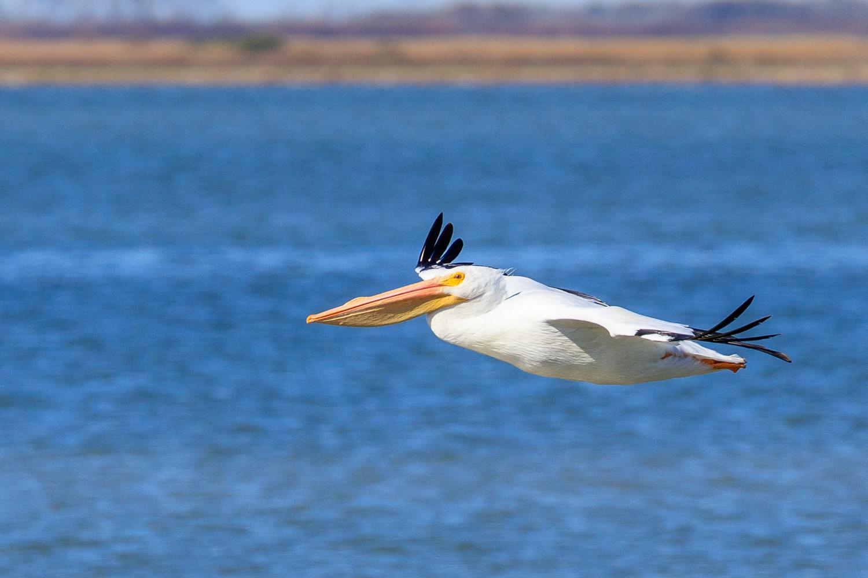 American White Pelican - ANWR