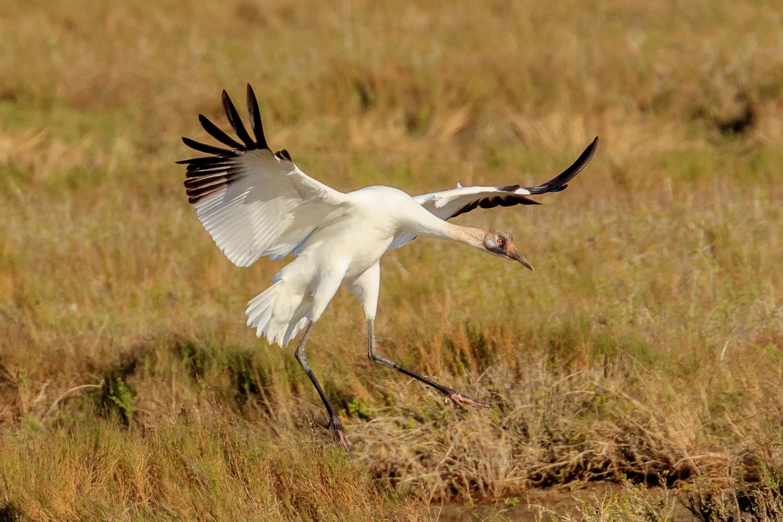 Whooping Crane - ANWR