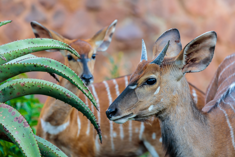 Nyalas and Aloe