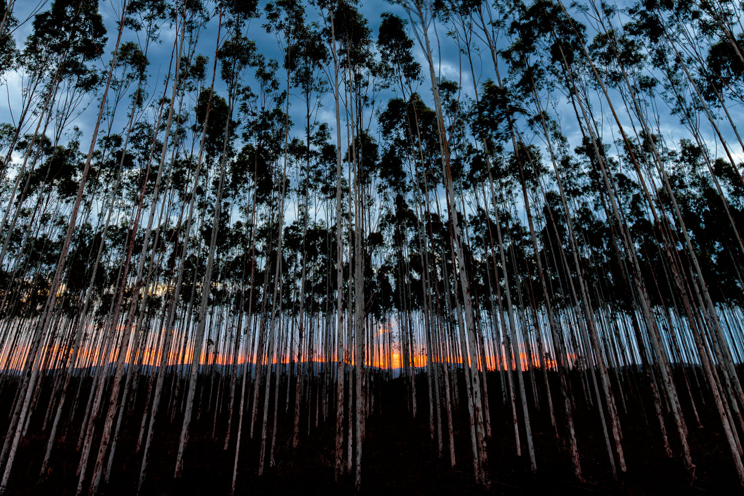 Blue Gum Tree Plantation