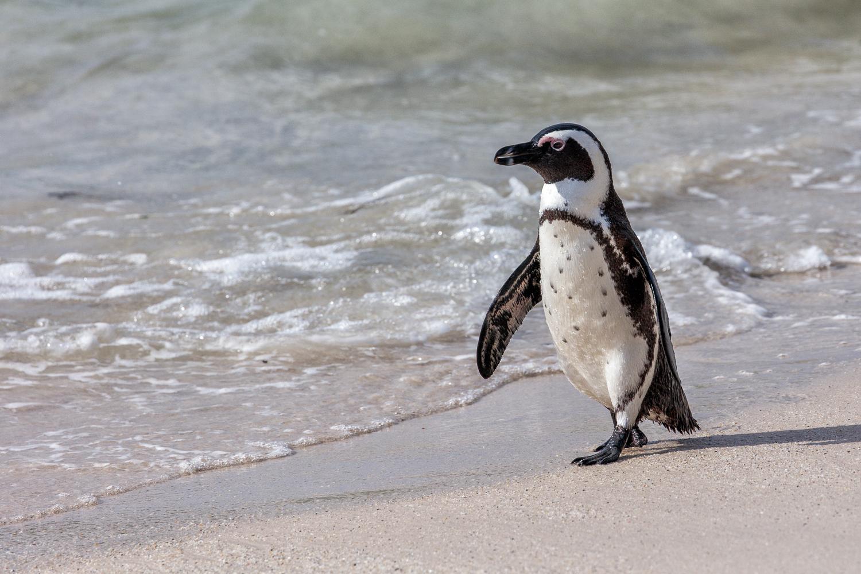 Penguin - Simon's Town SA