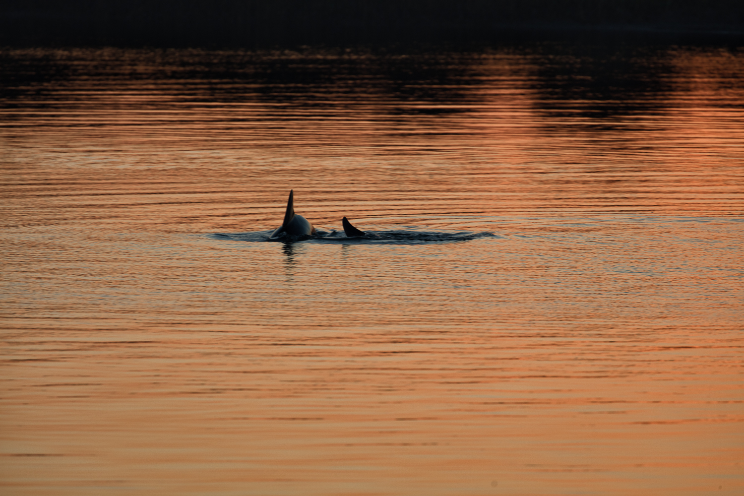 Dolphins at Sunrise