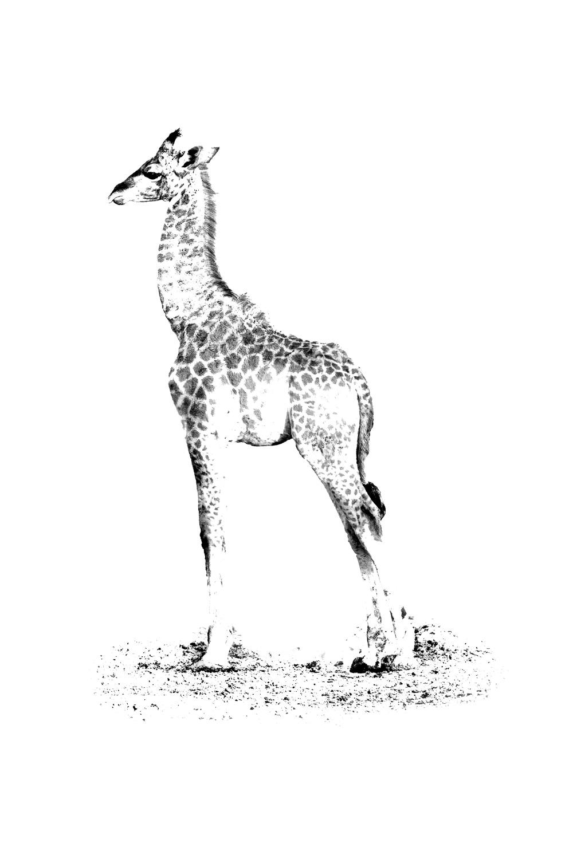 Little Baby Giraffe