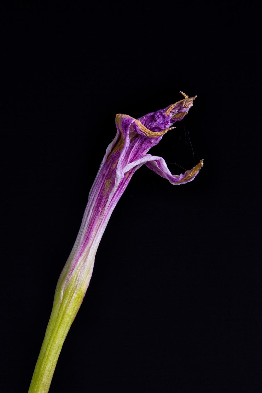 Expired Rain Lily