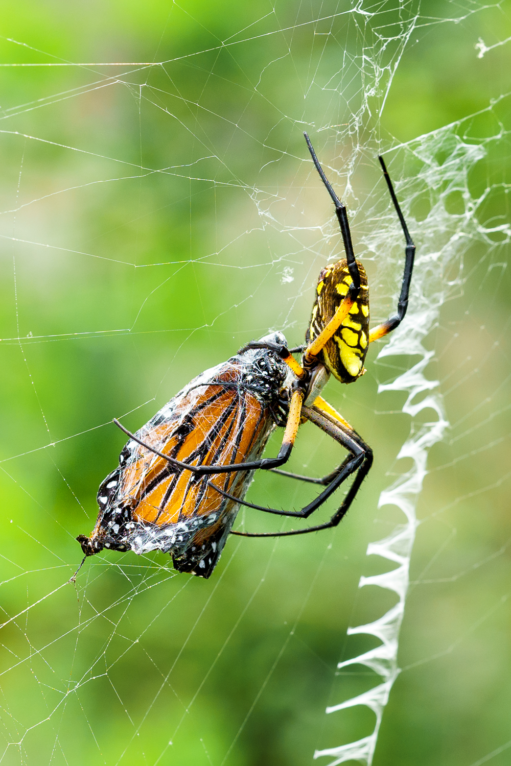 Yellow Garden Spider With Prey
