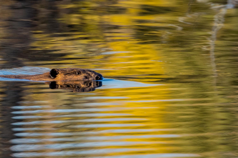 Beaver at Schwabacher's Landing