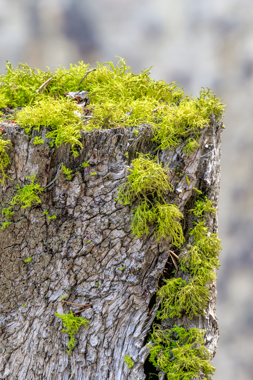 Lichen Stump